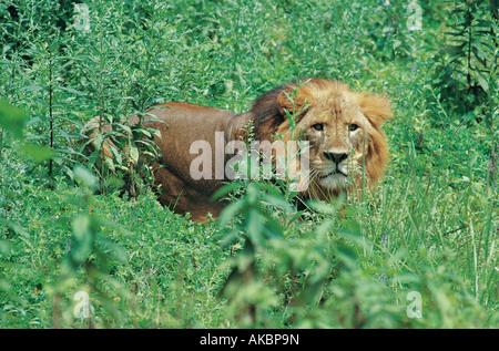 Lion mâle adulte en forêt Harenna Bale Mountains National Park Afrique Ethiopie Banque D'Images