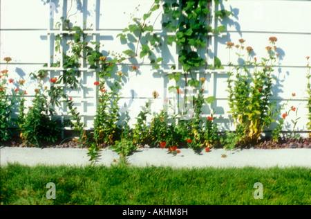 Vignes jusqu'lattice sur un mur blanc dans un jardin de fleurs Banque D'Images