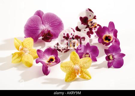 Les fleurs d'orchidées (Orchidaceae), close-up Banque D'Images