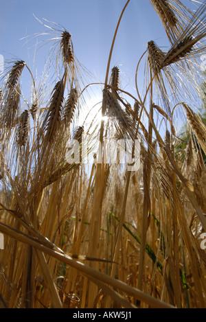 Plante de blé chefs en face de ciel bleu et soleil Banque D'Images