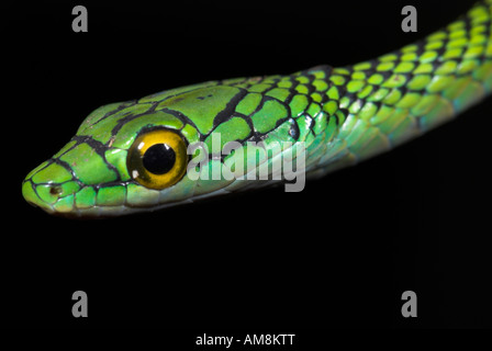 Peau de serpent ou de perroquet noir perroquet vert serpent Leptophis ahaetulla nigromarginatus Iquitos Perou
