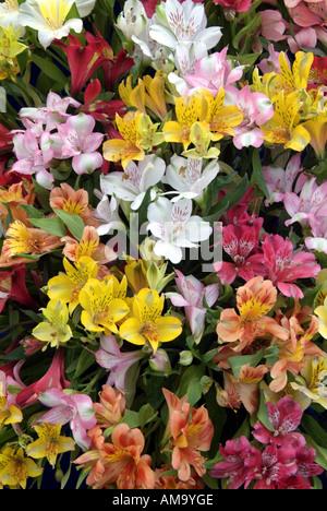 L'alstroemeria péruvienne Virginia lily bloom tête pétale plante pot pastel ampoule tropicales exotiques cultivées en serre chaude serre