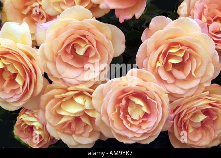Begonia fleur pétale pot tête pastel tropical exotique plante tubéreuse lampe à effet froissé de rhizomes cultivés en serre chaude