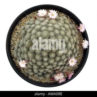 Mammillaria cactus cacti plumeuses blanc fleur flore espèces dos serre pot en terre cuite cultivée soulevées