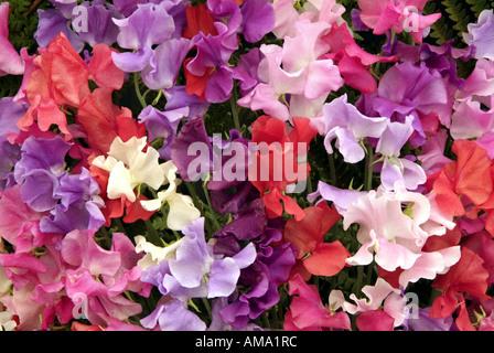 Bouquet de lilas mauve rose blanc masse pois mixte Lathyrus odoratus annuelle