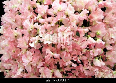Tas de pois sucré rose masse Lathyrus odoratus annuelle