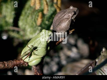 Deux grenouilles et un insecte se percher sur une branche d'arbre Banque D'Images