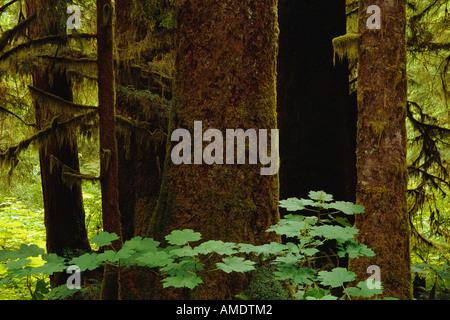 La forêt ancienne de Clayoquot British Columbia, Canada Banque D'Images