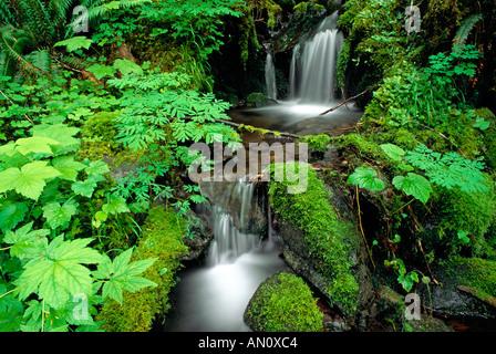 Couvre-sol luxuriant et le ruisseau le long de la fourche est de la rivière Quinault Quinault Rain Forest Olympic National Park Washington