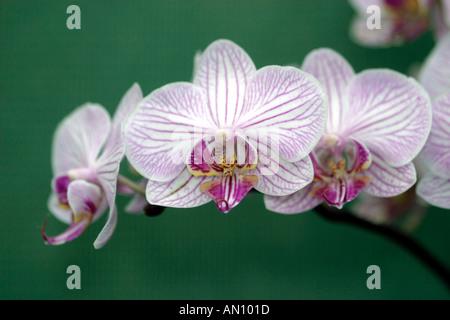 Orchidée Phalaenopsis Malibu Bistro