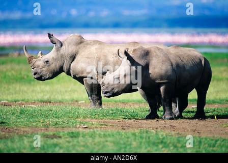 Rhinocéros blanc Breitmaulnashorn Le lac Nakuru Kenya Kenya Afrique Afrika Banque D'Images