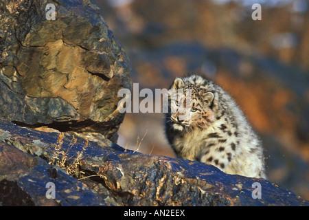 Snow Leopard sauvage authentique Panthera uncia Schneeleopard Altaï Mongolie Chine Mongolei Banque D'Images