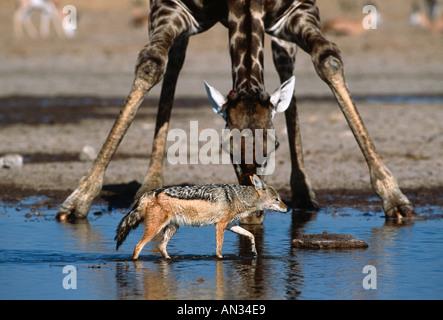 Chacal Canis mesomelas noir soutenu Promenades en face de girafe de boire à un point d'Etosha Namibie Banque D'Images