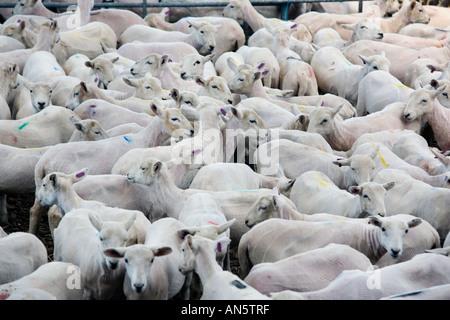 Moutons dans un enclos au Royal Welsh Show à Builth Wells au Pays de Galles qu'ils viennent d'être tondus dans le concours de la tonte des moutons