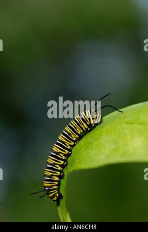 Papillon monarque, Danaus plexippus, Caterpillar sur un Asclépiade, Asclepias sp., feuille Banque D'Images