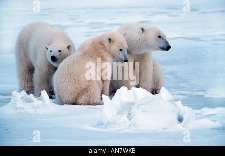 L'ours polaire (Ursus maritimus), mère de deux jeunes d'un an, Canada