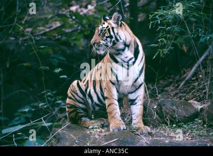 Wild tigre du Bengale Panthera tigris un an cub Bandhavgarh NP Inde Banque D'Images