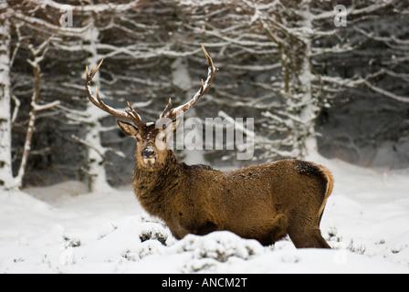 Red Deer stag en highland glen d'arbres en arrière-plan. Banque D'Images