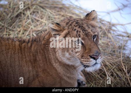 Un liger un croisement entre au lion ET tigre le tigre de Sibérie Harbin Heilongjiang en Chine Parc Banque D'Images