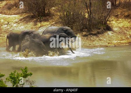 Les éléphants fuient dans panique dans un étang à l'audition de deux coups de fusil, un braconnier Mole National Banque D'Images