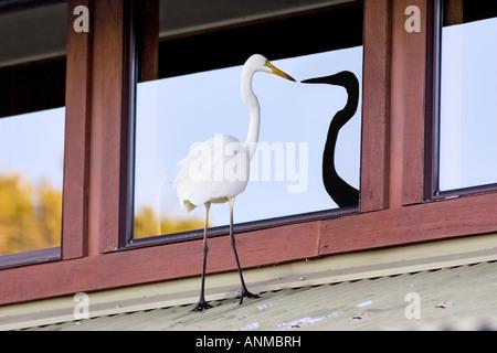 Une grande aigrette (Ardea alba) perché sur un toit à son reflet dans la fenêtre. Perth, Australie occidentale Banque D'Images