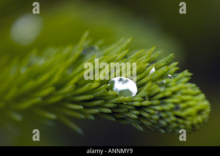 L'épinette blanche (Picea glauca) gouttes de pluie sur les boutons de la nouvelle croissance, le Grand Sudbury, Banque D'Images