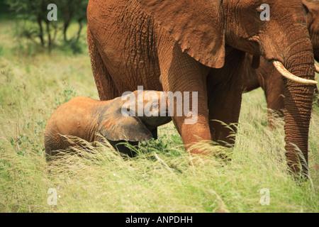 Bébé éléphant chargée depuis sa mère Afrique Kenya Banque D'Images