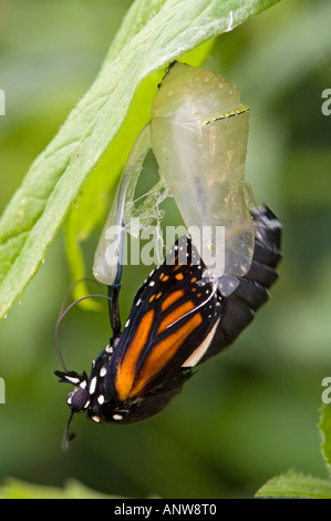 Papillon Monarque Danaus plexippus sortant d'adultes de l'Ontario chrysallis Banque D'Images