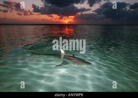 Blacktip shark Carcharhinus limbatus Banque D'Images
