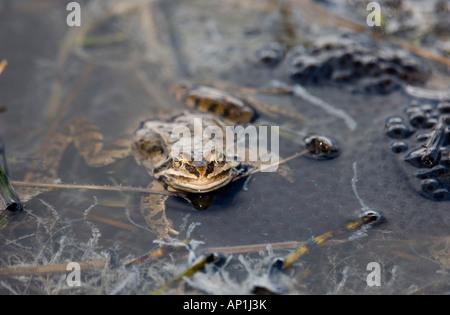 Grenouille des marais Rana ridibunda en étang entouré de frayer Grand Caucase Géorgie Avril