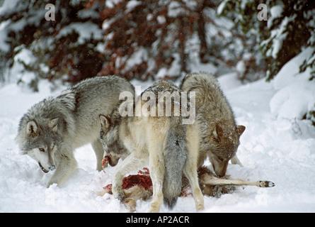 Gris d'Amérique du Nord ou du bois des loups Canis lupus se nourrissant de cerf mulet USA Banque D'Images