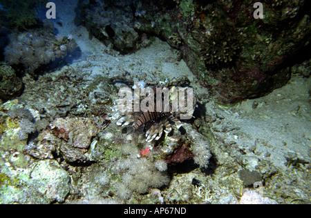 Egypte Mer Rouge poisson lion Pterois volitans commun Banque D'Images