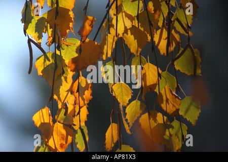 Bouleau pleureur (Betula pendula youngii en couleurs d'automne p Mots-clés bouleau pleureur (Betula pendula youngii Banque D'Images