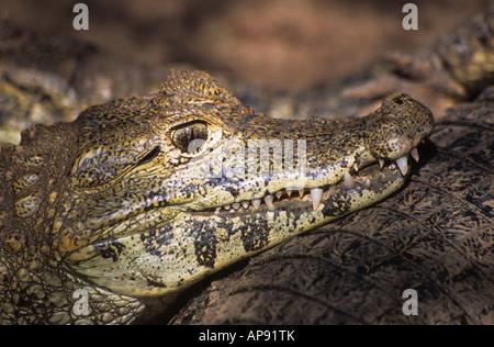 Les jeunes ( caïman noir Melanosuchus niger ) portrait , Bolivie (spécimen captif) Banque D'Images