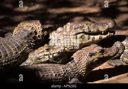 Groupe de jeunes caïman noir (Melanosuchus niger), la Bolivie (spécimens en captivité) Banque D'Images