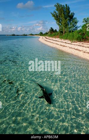 Blacktip shark Carcharhinus limbatus Bahamas Océan Atlantique Banque D'Images
