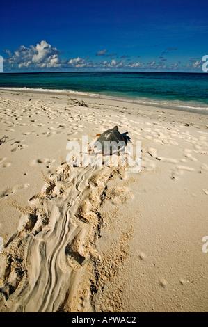La tortue imbriquée Eretmochelys imbricata disparition retourne à la mer après la ponte dans le monde des océans Banque D'Images