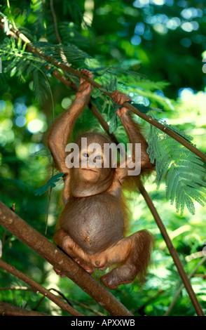 Un bébé orang-outan, Pongo pygmaeus, parc national de Gunung Leuser, Sumatra, Indonésie, Asie Banque D'Images