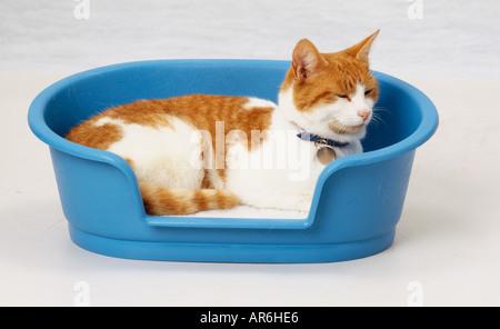 Le gingembre et le chat blanc couché recroquevillé dans lit de chat en plastique bleu, portant le nom de col bleu Banque D'Images