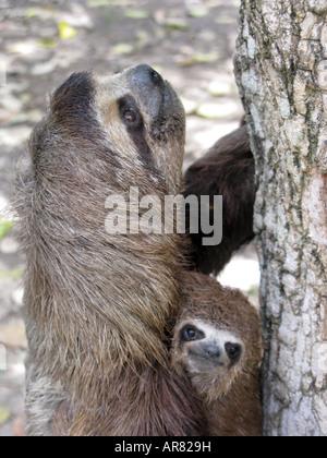 Sloth mère et bébé close up . Le Brown-throated trois-toed Sloth, Bradypus variegatus, est une espèce de paresseux Banque D'Images