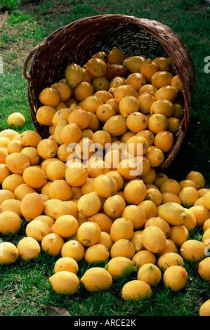 Les citrons se répandre à partir d'un panier, Fête du Citron, Menton, Alpes Maritimes, Côte d'Azur, Provence, France, Europe