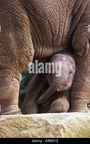 Jeune éléphant asiatique - debout / Elephas maximus