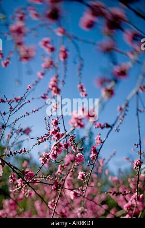 Rose pêche fleurs sur tree in spring in shallow focus against blue sky Banque D'Images