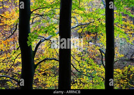 Les Hêtres en automne à la SRCFA Bois Yorkshire Dales National Park en Angleterre Banque D'Images