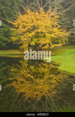 Couleurs d'automne ont fait de feuilles de l'arbre jaune ironwood persan en tant qu'arborescence se reflète dans l'étang