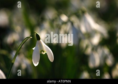 [Les perce-neige Galanthus nivalis], beau bois blanc des fleurs au printemps, la lumière du soleil [Welford Park], Banque D'Images