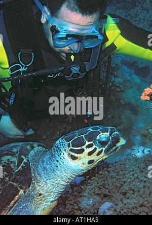 La tortue imbriquée Eretmochelys imbricata Tortue Carey Reptile Océan Indien de la mer Rouge, Egypte Banque D'Images