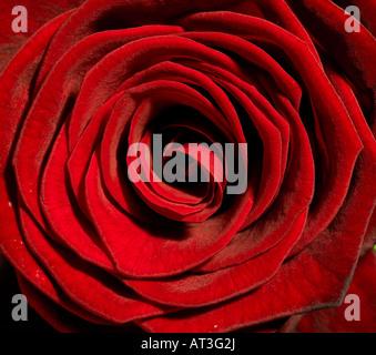 Une rose rouge avec des gouttelettes de rosée sur les pétales, close-up Banque D'Images