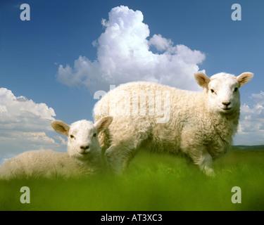 Go - BUCKINGHAMSHIRE: agneaux de Pâques Banque D'Images