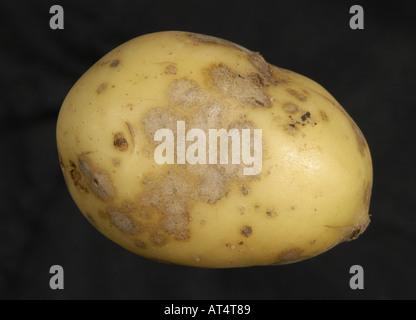 L'infection de la tache argentée Helmintosporium solani évident sur tubercule de pomme de terre Banque D'Images